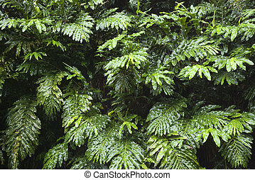 hawaii., planta, maui, gengibre