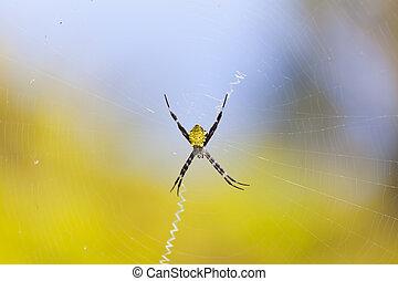Hawaiian Garden Spider, Maui