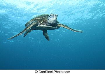 Hawaiian Green Sea Turtle - Green Sea Turtle gliding through...