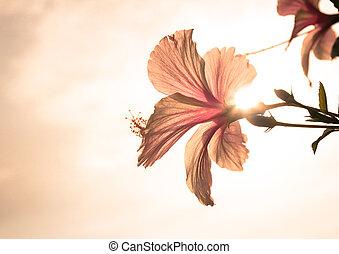 Hawaiian hibiscus in evening - Pink Hawaiian hibiscus in...