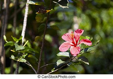 Hawaiian Hibiscus, Maui