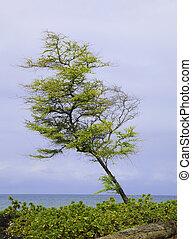 hawaiian kiawe mesquite tree by the ocean