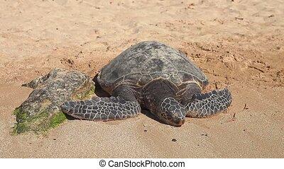 Hawaiian Sea Turtle on the shore of Laniakea Beach or Turtle Beach on Oahu island, Hawaii, United States. Green Sea Turtle or Hawaiian Sea Turtle on Laniakea Beach.