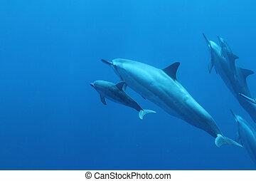 Hawaiian Spinner Dolphin with Baby