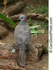 Hawaiian Spotted Dove