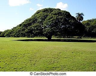 A Green Hawaiian Savannah Tree on green grass.