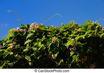 Hawian rosewood baby vine plant - Tropical plant vine...
