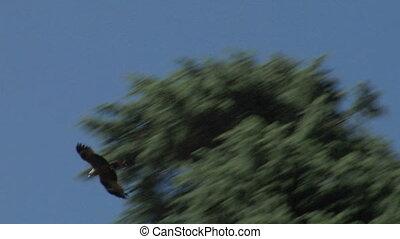 hawk 02 - Flying hawk