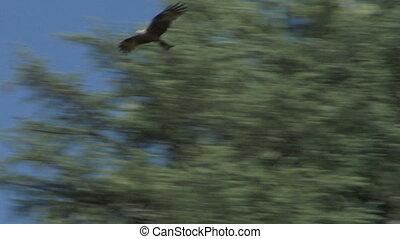 hawk 03 - Flying hawk