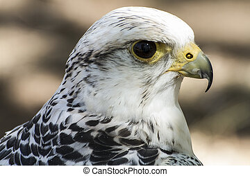 hawk, beautiful white falcon with black and gray plumage