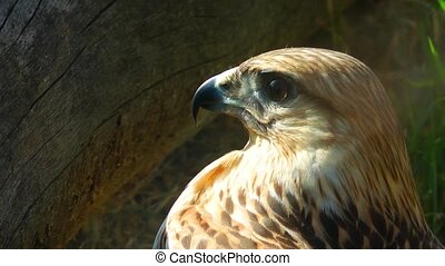 Hawk Bird Animal in Wildlife