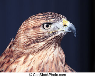 Hawk buteo close-up at red and blue tones looking right