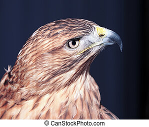 Hawk buteo close-up at red and blue tones