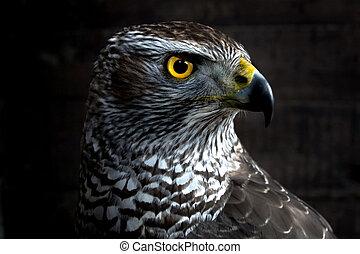 Hawk close up.