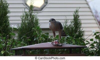 Hawk eating prey - Predator hawk eating another bird