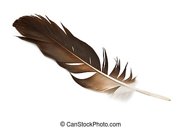 feather - hawk feather isolated on white