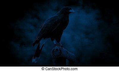 Hawk Flies Off Perch At Night - Hawk on perch looks around ...