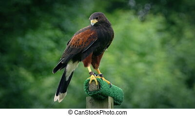 Hawk Flies Off Perch - Hawk looks and around and squawks...