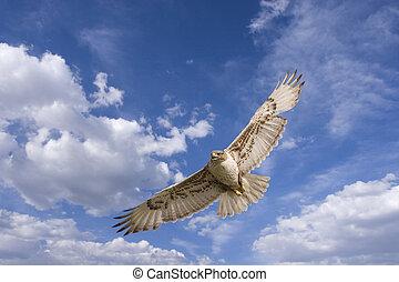 Large hawk in flight