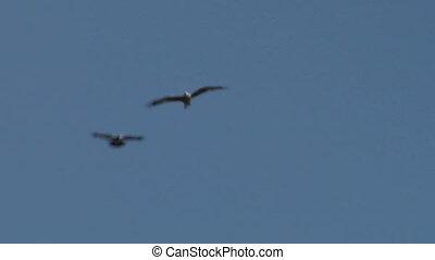 hawk fly 01