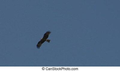 hawk fly 02