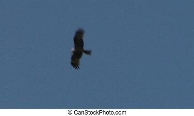 hawk fly 03 - Flying hawk silhouette
