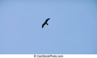 hawk fly 04 - Flying hawk silhouette