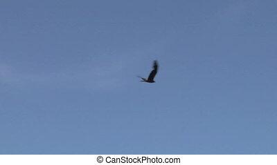 hawk fly 12 - Flying hawk silhouette