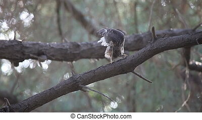 hawk grooming after a meal - a juvenile sharp-shinned hawk...