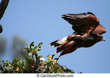 Hawk Harris's takeof - Hawk Harris's at takeoff, ...