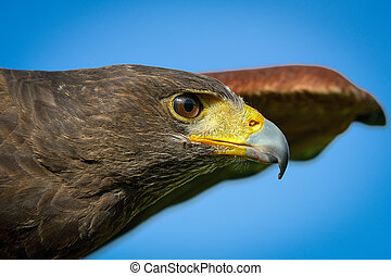 Hawk harris -  Portrait of a hawk harris