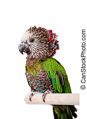 Hawk-headed Parrot, Deroptyus accipitrinus, isolated on white