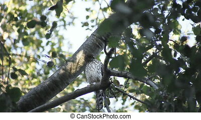 a sharp-shinned hawk looks for the pigeon it dropped