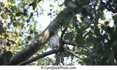 hawk in a tree