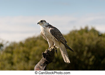 hawk in Cornwall
