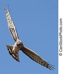 hawk in flight - Hawk in flight.