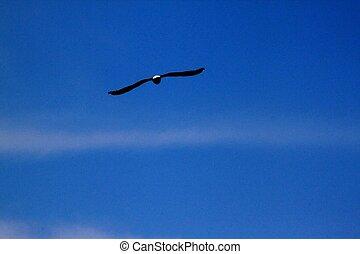 Hawk in flight HDR