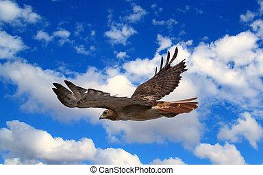 Hawk in flight - A Red Tailed Hawk soaring across a blue sky...