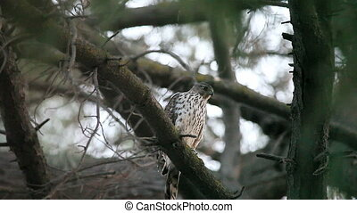 hawk looks for prey - from a high perch, a hawk searches for...