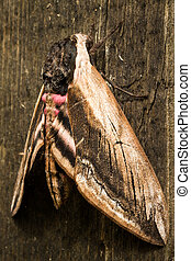 Hawk Moth on wood background close up