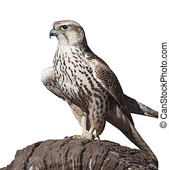 hawk on a tree stump, isolated white background