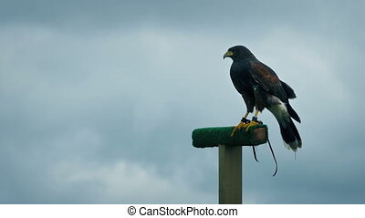 Hawk On Perch Flies Off - Hawk on perch looks around and...