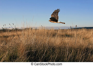 Northern Harrier Hawk flying low to the ground searching for prey. Ground cover is made up of a tall brown grass, and the blue sky above allow a great view of this hawk in flight.