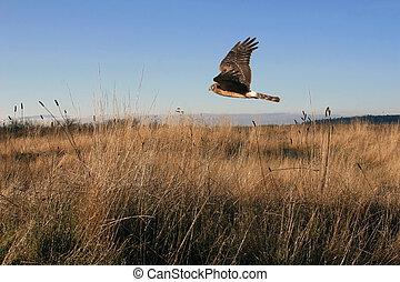 Hawk on the Hunt #1