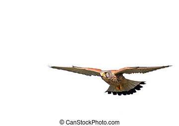 hawk on white - hawk flying on a white background