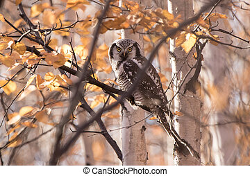 hawk owl sitting on a branch in the forest sunny autumn day