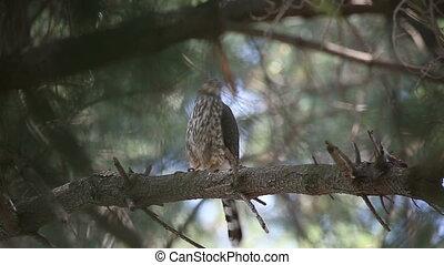 hawk relaxing in a pine tree