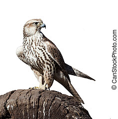 hawk sitting on a tree stump, isolated