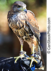 Hawk sitting on the glove