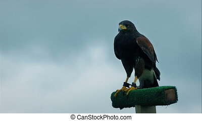 Hawk Squawks And Flies Off - Hawk looks and around and...